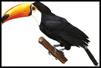 how to draw a toucan easy