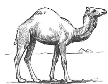 How To Draw Camels Drawing Tutorials Drawing How To Draw