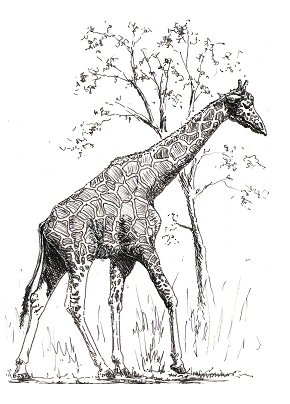 Gallery For gt Drawing Of A Giraffe