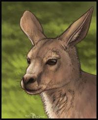 How To Draw Kangaroos