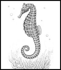 Step By Step Easy Simple Seahorse Drawing
