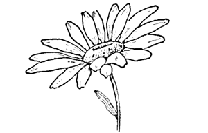Drawing The Daisy How To Draw Daisies With Easy Steps
