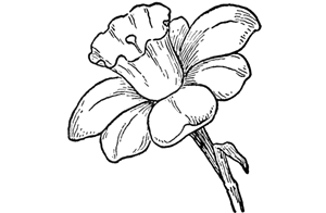 How to draw flowers drawing tutorials drawing how to draw how to draw daffodils with daffodil drawing lessons thecheapjerseys Choice Image