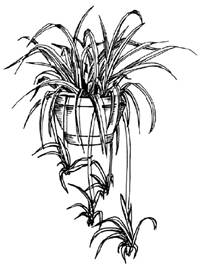 how to draw a spider plant