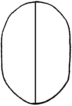 Draw a line down the center of this oval.