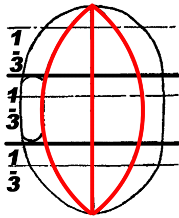 Now draw a convex line down the first third of the oval and then do it again on the other side.