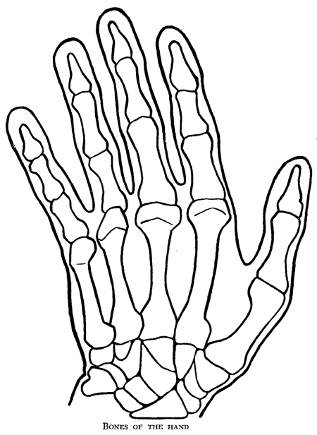 Bones Of The Human Hand How To Draw Step By Step Drawing Tutorials
