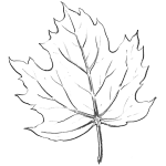 How to Draw Maple Leaves - Easy Leaf step by step drawing lesson