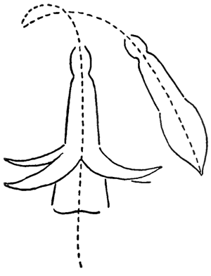 Step 4 Drawing Fuchsias Flowers Step by Step Lesson