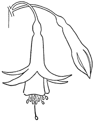 Step 5 Drawing Fuchsias Flowers Step by Step Lesson