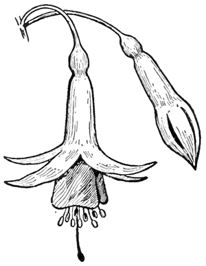 Step 6 Drawing Fuchsias Flowers Step by Step Lesson