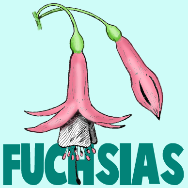 How to Draw Fuchsias Flowers with Easy Steps Drawing Tutorial