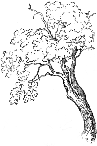 finished drawing of an oak tree