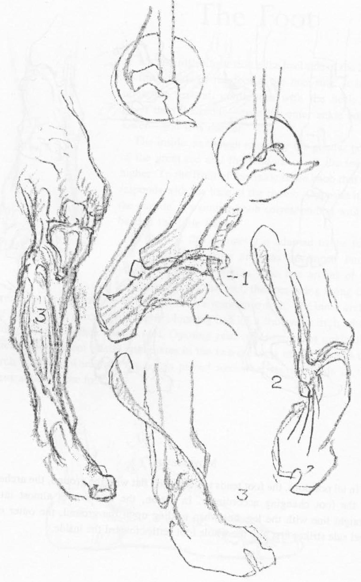 Foot anatomy drawing