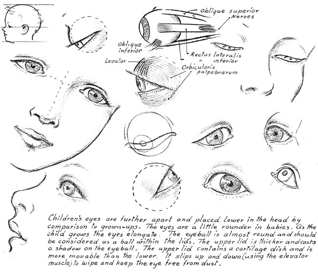 proportions and distance of eyes on a child
