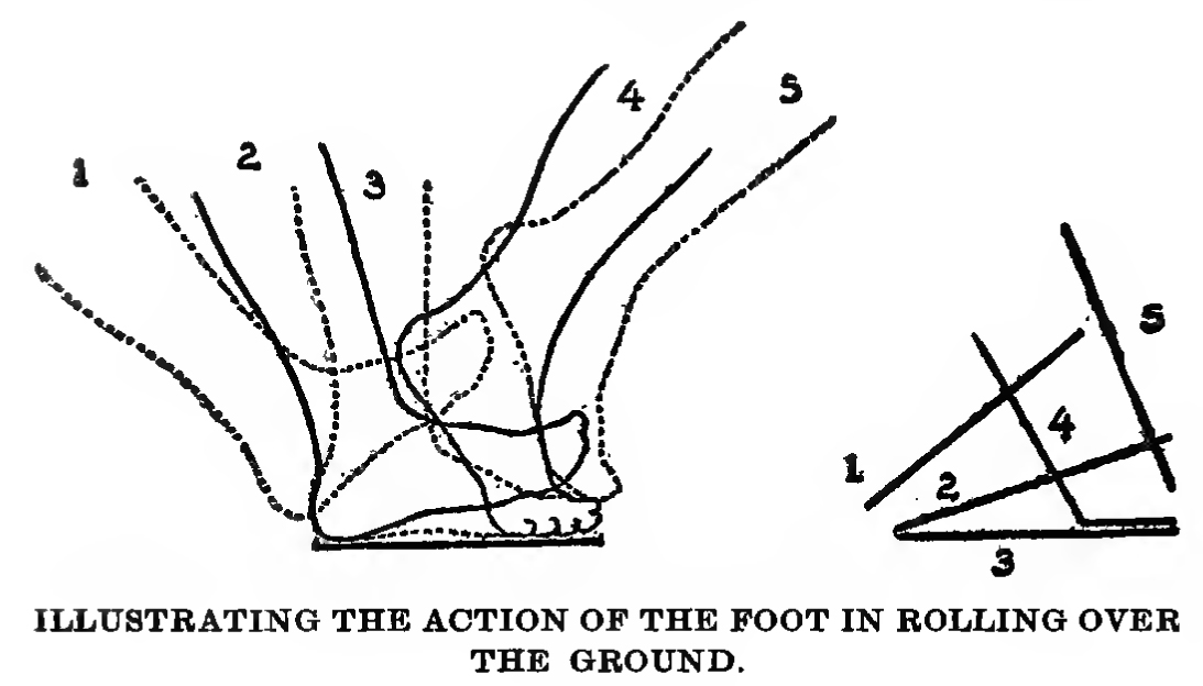 animated foot when walking - how to draw the roll of the foot