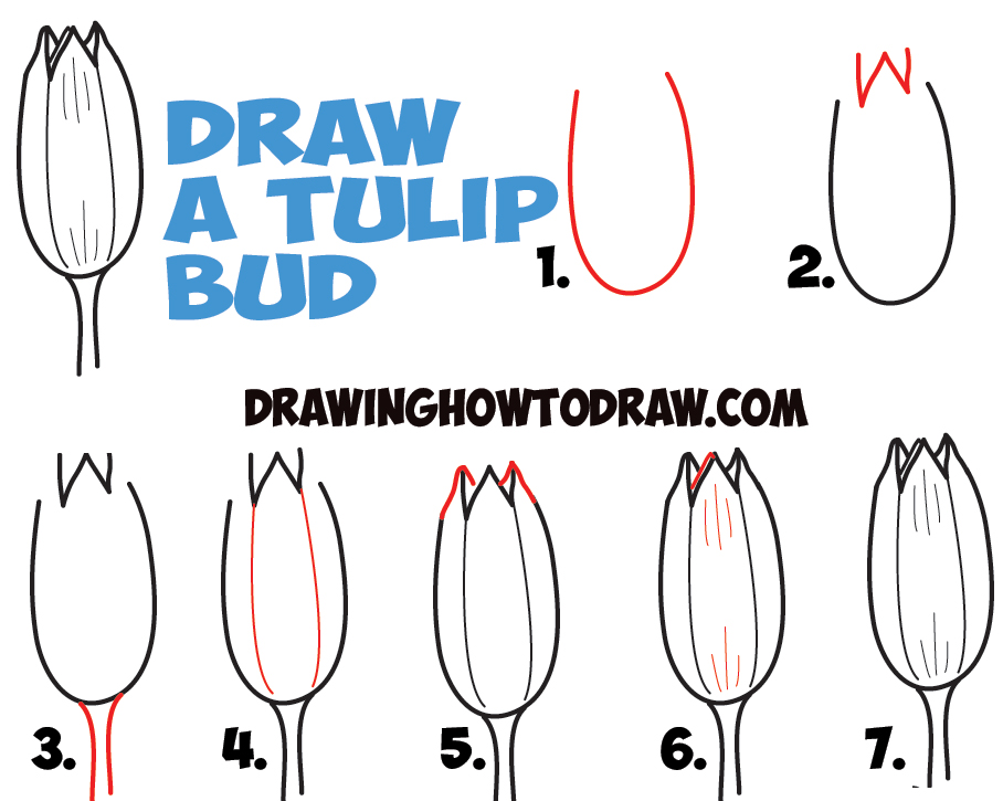 how to draw young tulip buds - drawing tulips as buds - in easy steps lesson